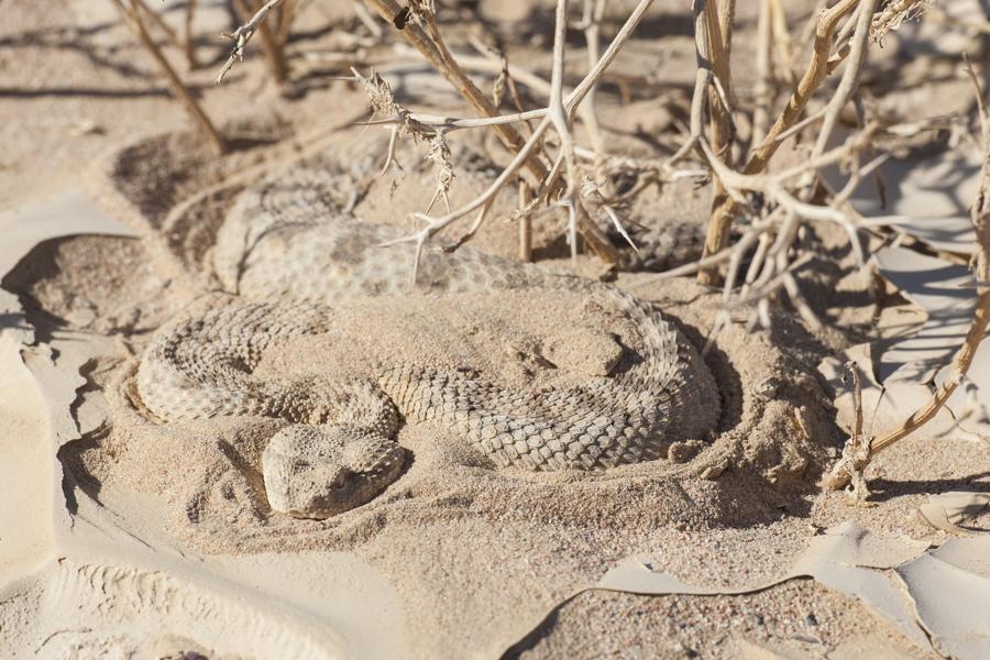 Раненая змея прячится в песок в доме во сне